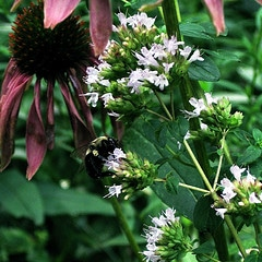 Oregano and Coneflower