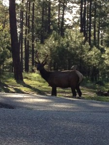 Saw an Elk while having breakfast
